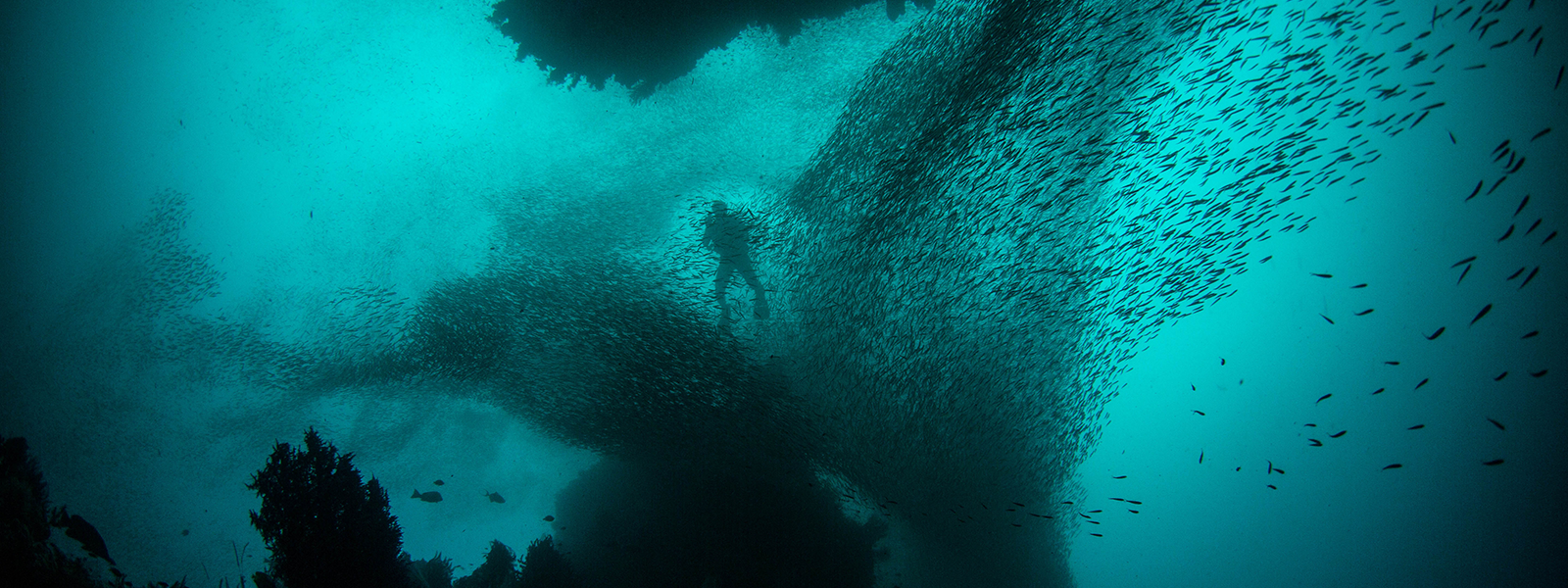Underwater photo of a school of fish and diver