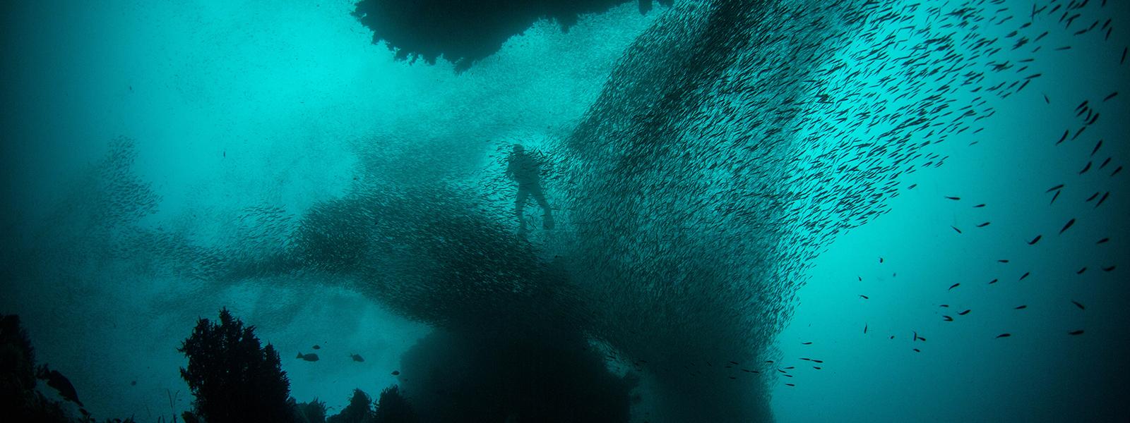 Foto sott'acqua di un banco di pesci e sommozzatore
